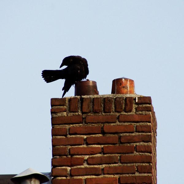 ptak nakominie